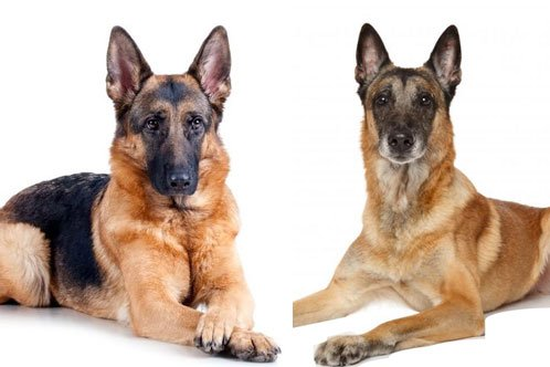 belgian-malinois-vs-german-shepherd