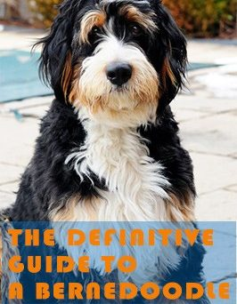 the definitive guide to a Bernedoodle