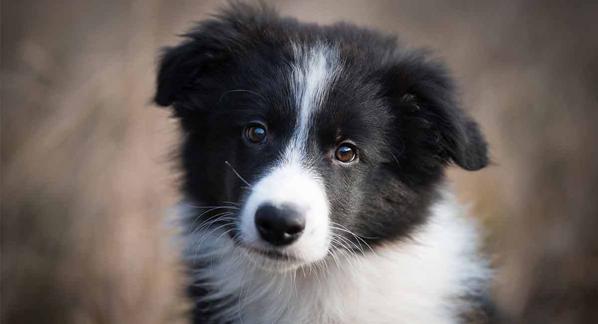 best-dog-food-for-border-collie-puppies