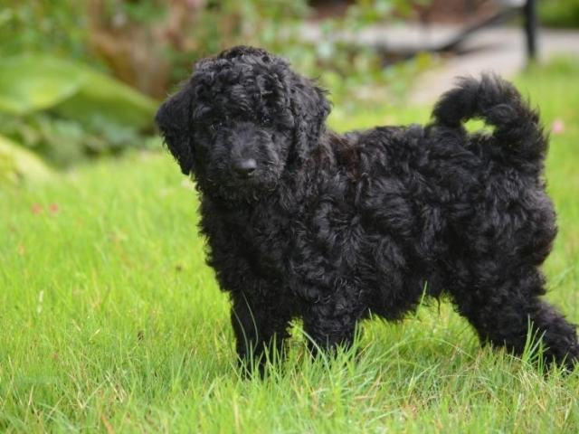 black-mini-Goldendoodle