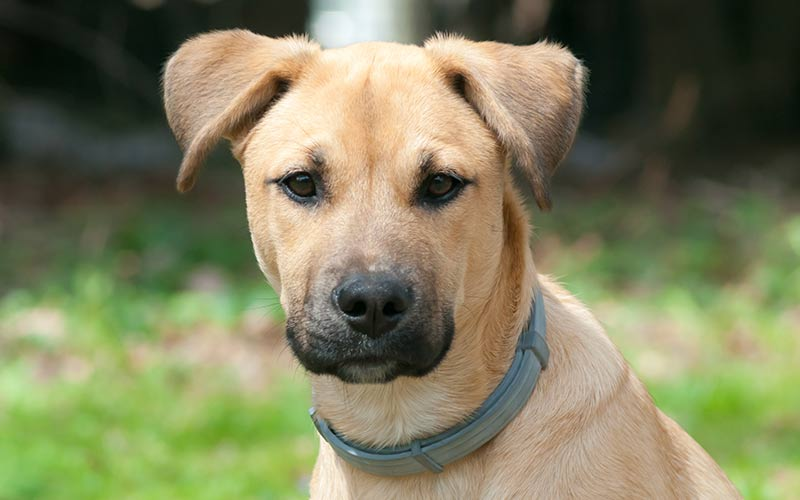 black-mouth-cur-puppy