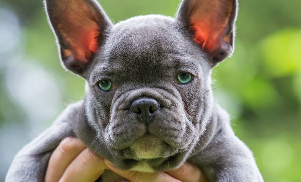 blue-frenchie