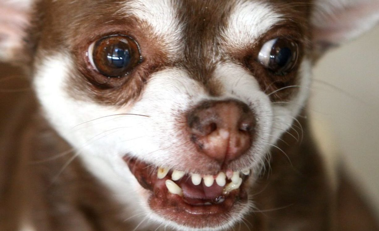 brown-chihuahua-snarling