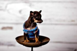 chihuahua_puppy_weight