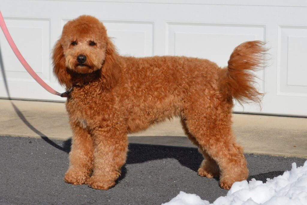 Goldendoodle with a curly coat