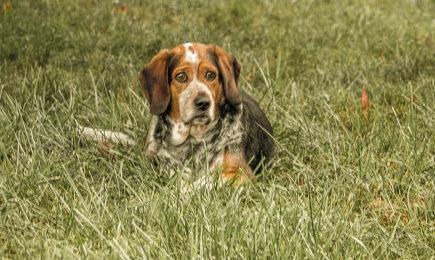 dog-animals-beagle-cute