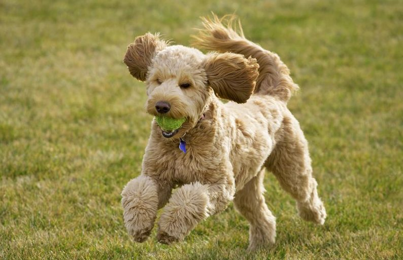 goldendoodle-dog-colors-guide