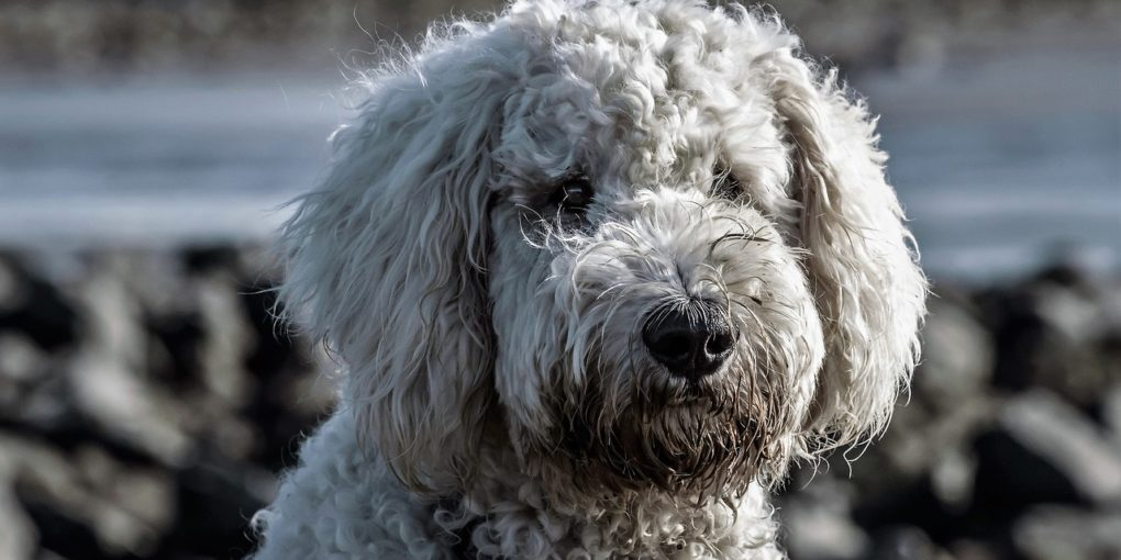 goldendoodle-dog-grey color variation