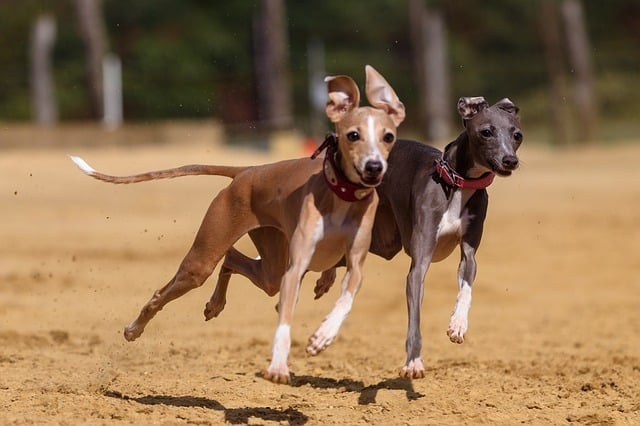 greyhound-dog-chasing