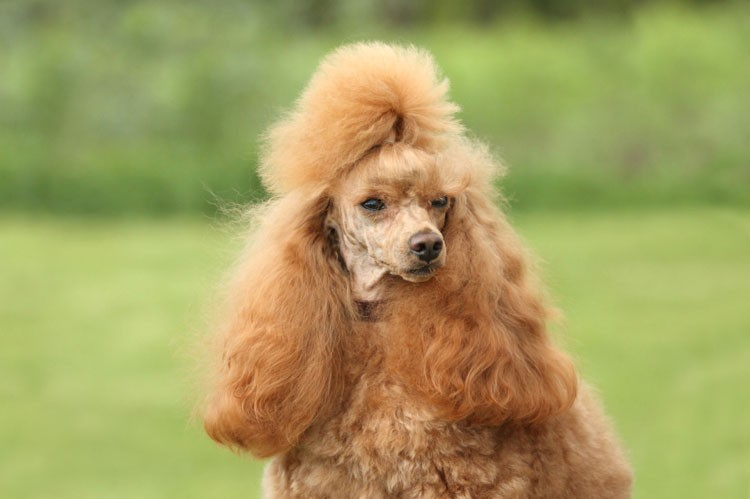 How to Groom a Poodle