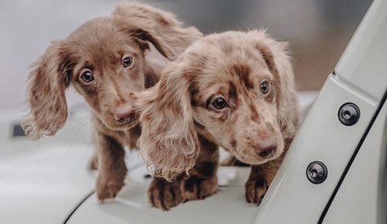 long-haired-dachshund puppies