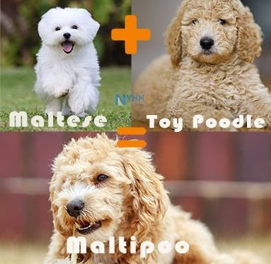 Maltese mix with Poodle