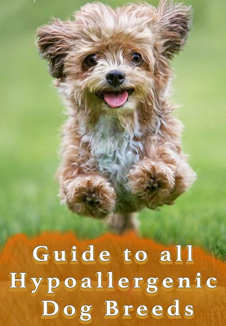 Guide to hypoallergenic dog breeds