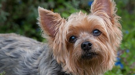 silky-terrier-guide