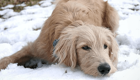 straight-coat-goldendoodle
