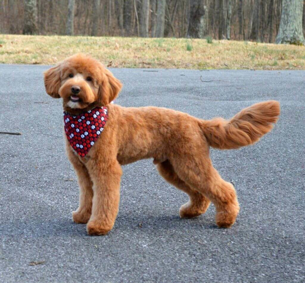 Goldendoodle with a straight coat