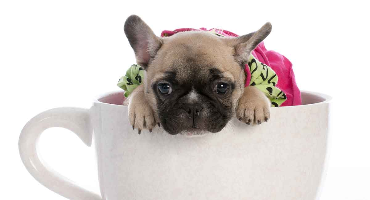 teacup-french-bulldogs