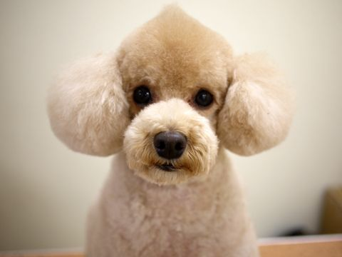 the Poodle cupcake Poodle