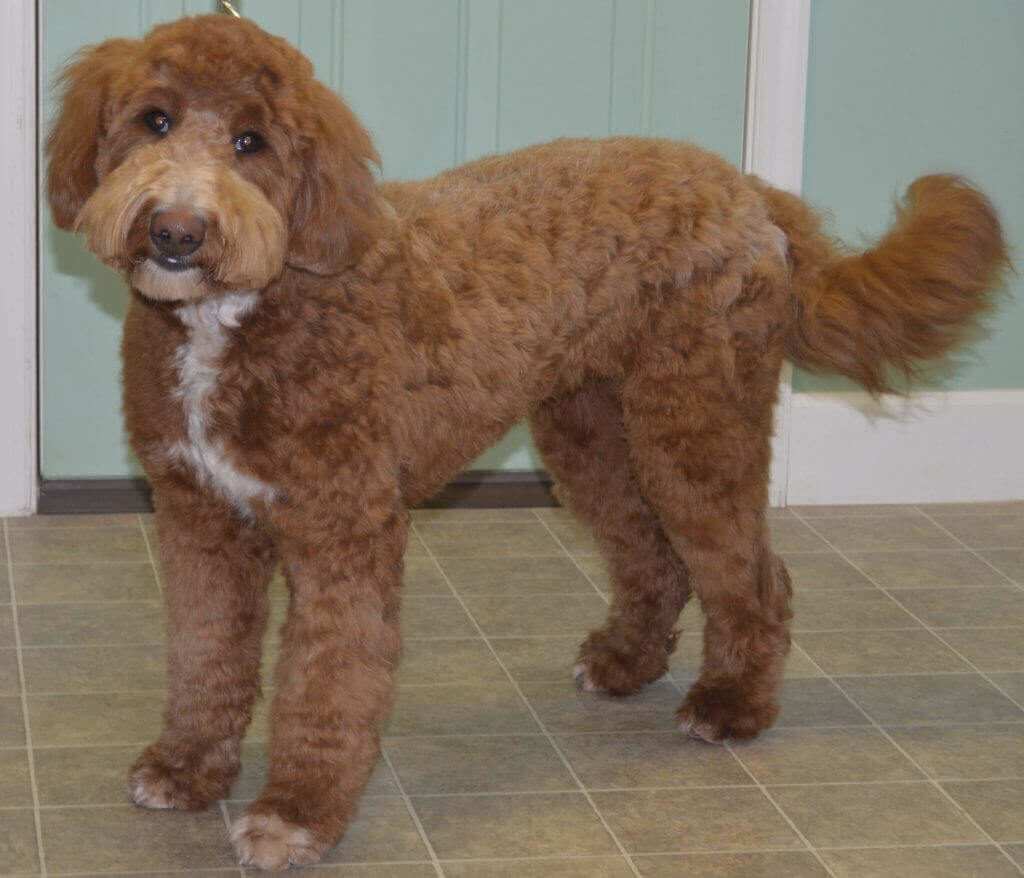 Goldendoodle with a wavy coat