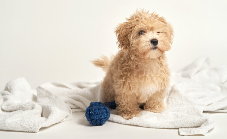 A Teacup Maltipoo dog