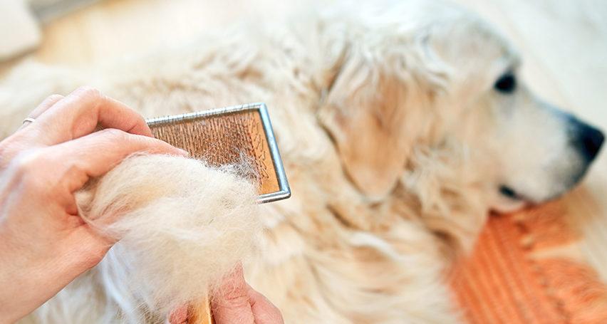 How to brush a Golden retriever