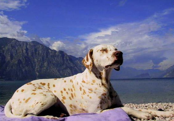 Lemon-spotted Dalmatian