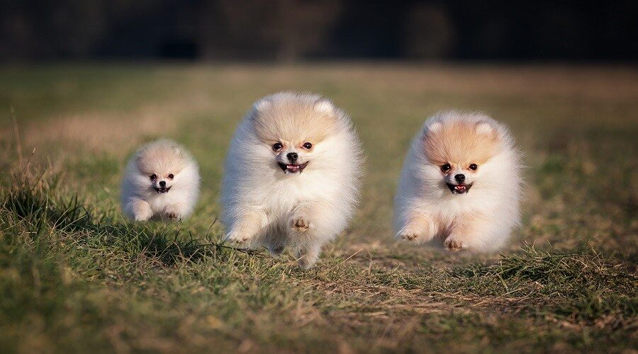 Pomeranian-Miniature-How-Much-Do-They-Cost