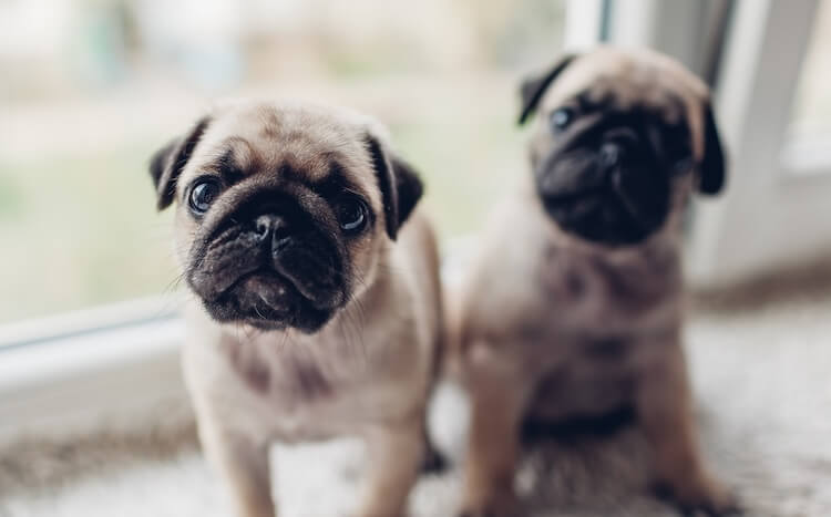 Two-Pug-Puppies