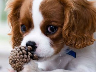 king-charles-spaniel-miniature
