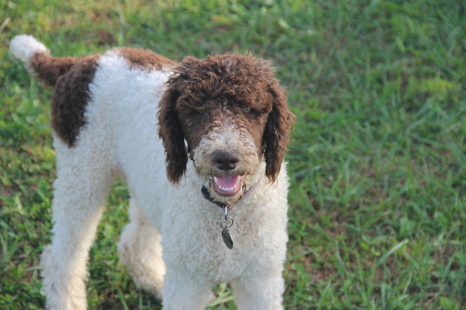 Parti French Poodle guide