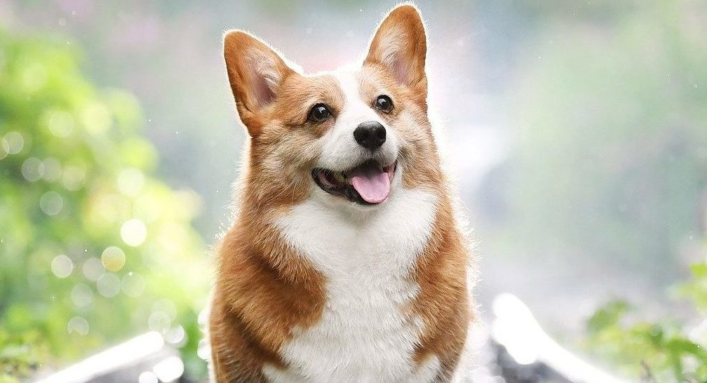 How much does a Corgi cost