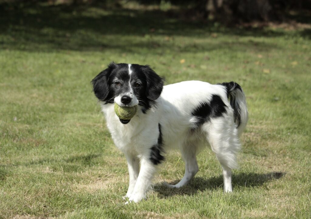 Border Collie Cocker Spaniel mix
