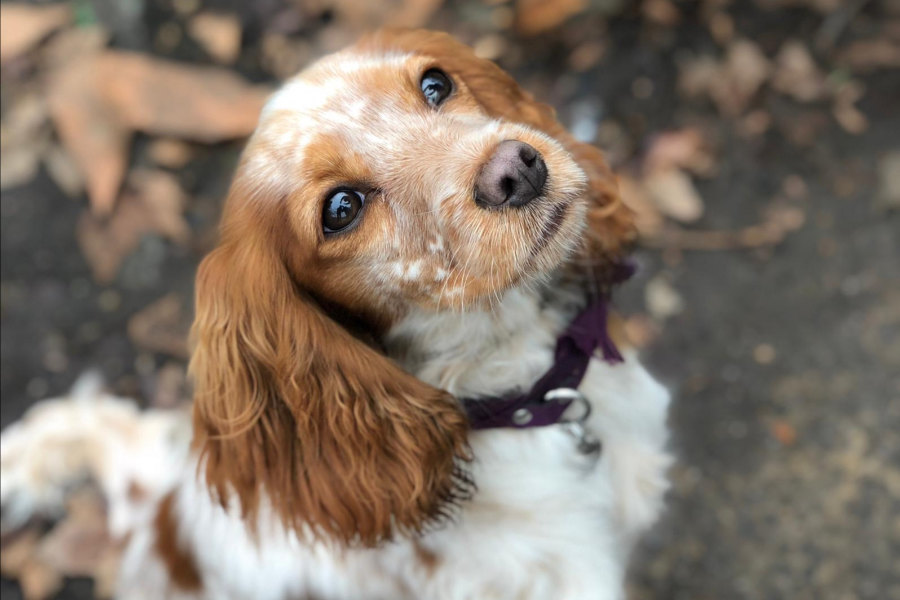 Cocker Spaniel Cavalier spaniel mix