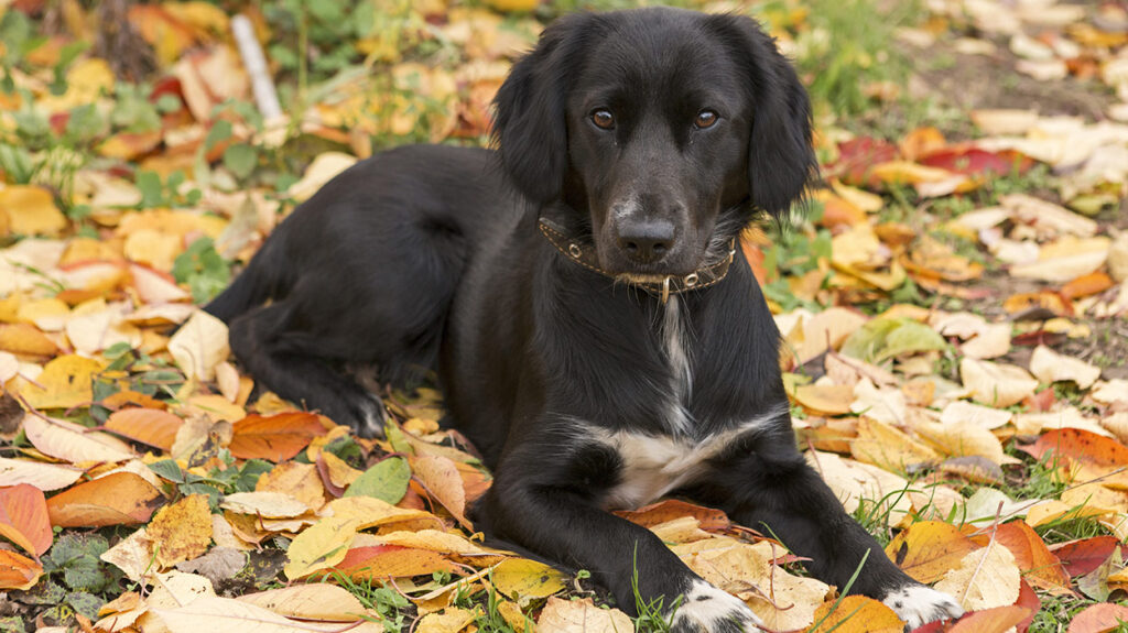 Cocker Spaniel Lab mix
