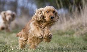How much does a Cocker Spaniel cost