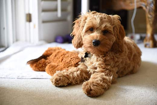 Toy Cockapoo