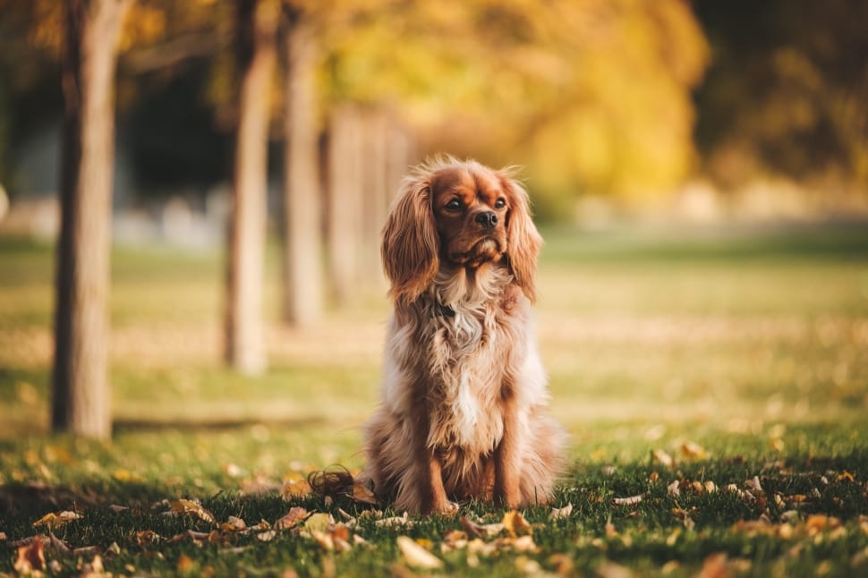 cocker spaniel ownership cost