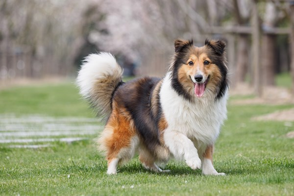 sheltie mixes