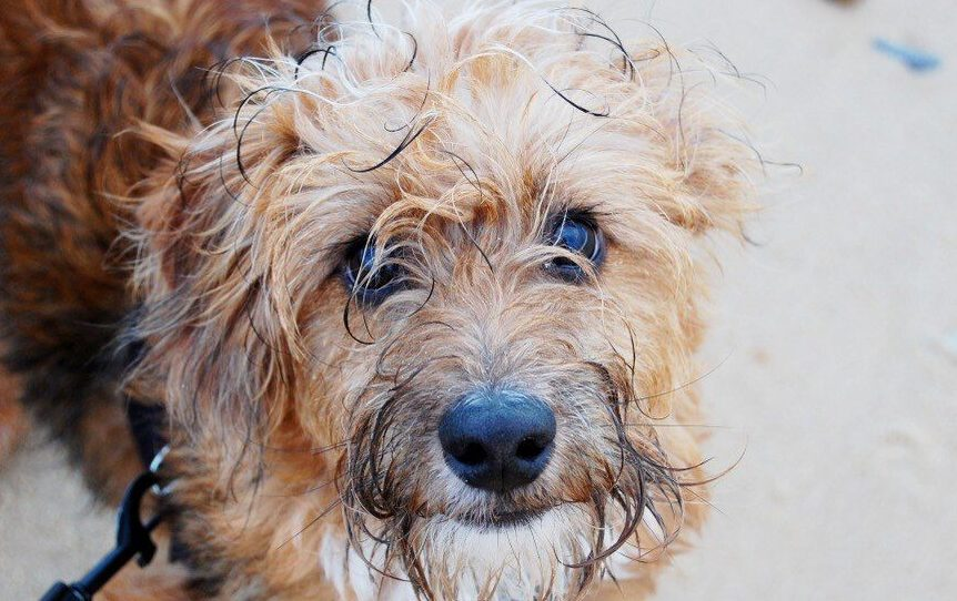 Cairn Terrier Poodle mix