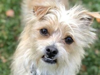 Cairn Terrier Yorkie mix