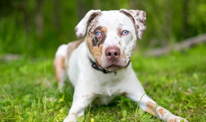 Catahoula-Pitbully-Mix-dogbreed
