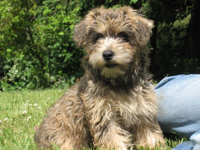 Miniature Poodle Cairn Terrier mix