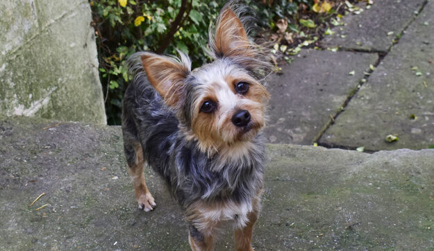 Yorkie Cairn Terrier mix